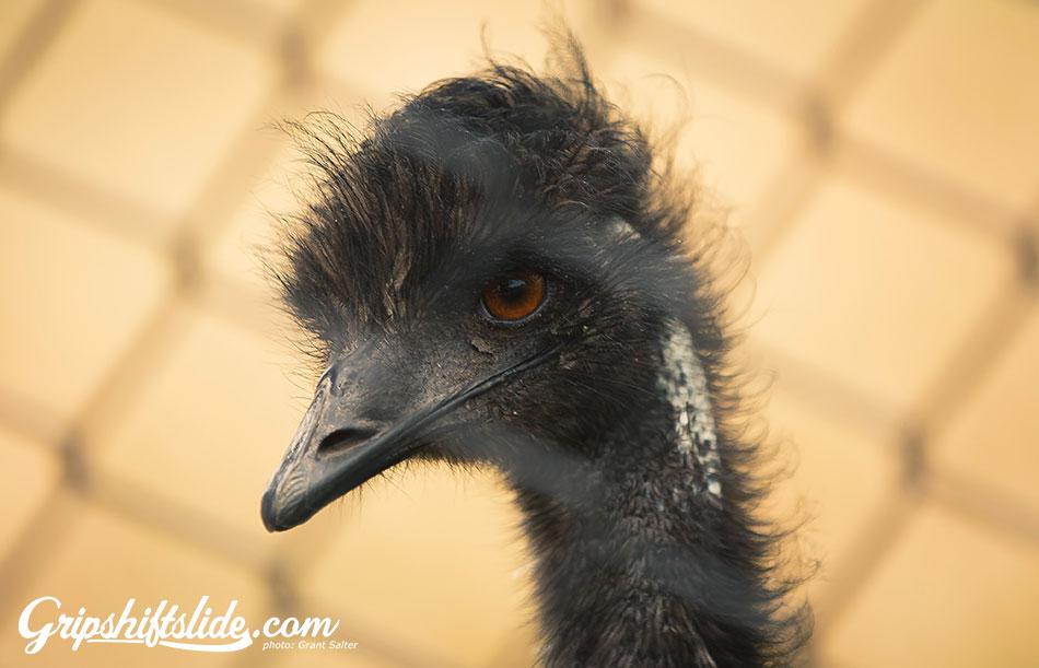 emu eye